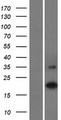 C16orf90 Protein - Western validation with an anti-DDK antibody * L: Control HEK293 lysate R: Over-expression lysate