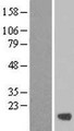 C19orf24 Protein - Western validation with an anti-DDK antibody * L: Control HEK293 lysate R: Over-expression lysate