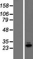 C19orf60 Protein - Western validation with an anti-DDK antibody * L: Control HEK293 lysate R: Over-expression lysate
