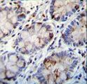 C1QC Antibody immunohistochemistry of formalin-fixed and paraffin-embedded human rectum tissue followed by peroxidase-conjugated secondary antibody and DAB staining.