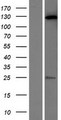 C20orf194 Protein - Western validation with an anti-DDK antibody * L: Control HEK293 lysate R: Over-expression lysate