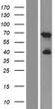 C2orf42 Protein - Western validation with an anti-DDK antibody * L: Control HEK293 lysate R: Over-expression lysate