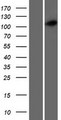 CCDC39 Protein - Western validation with an anti-DDK antibody * L: Control HEK293 lysate R: Over-expression lysate