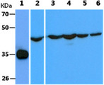 The recombinant proteins (25ng) were resolved by SDS-PAGE, transferred to PVDF membrane and probed with anti-human Cyclin H antibody (1:1000). Proteins were visualized using a goat anti-mouse secondary antibody conjugated to HRP and an ECL detection system. Lane 1.: Recombinant Human Cyclin H The cell lysates (40ug) were resolved by SDS-PAGE, transferred to PVDF membrane and probed with anti-human Cyclin H antibody (1:1000). Proteins were visualized using a goat anti-mouse secondary antibody conjugated to HRP and an ECL detection system. Lane 1.: HepG2 cell lysate Lane 2.: Jurkat cell lysate Lane 3.: Ramos cell lysate Lane 4.: Balb-3T3 cell lysate