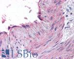 Anti-CCR1 antibody IHC of human small intestine, vessel. Immunohistochemistry of formalin-fixed, paraffin-embedded tissue after heat-induced antigen retrieval.