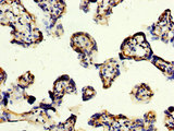 CD109 Antibody - Immunohistochemistry image at a dilution of 1:200 and staining in paraffin-embedded human placenta tissue performed on a Leica BondTM system. After dewaxing and hydration, antigen retrieval was mediated by high pressure in a citrate buffer (pH 6.0) . Section was blocked with 10% normal goat serum 30min at RT. Then primary antibody (1% BSA) was incubated at 4 °C overnight. The primary is detected by a biotinylated secondary antibody and visualized using an HRP conjugated SP system.