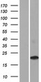 CD300LD Protein - Western validation with an anti-DDK antibody * L: Control HEK293 lysate R: Over-expression lysate