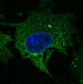Immunofluorescence - anti-CD63 antibody in Hepa1-6 cells at 1:50 dilution. Cells were fixed with 4% of PFA.