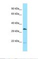 CDC37L1 Antibody - Western blot of Human OVCAR-3. CDC37L1 antibody dilution 1.0 ug/ml.  This image was taken for the unconjugated form of this product. Other forms have not been tested.