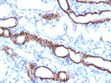 CDH16 / Cadherin 16 Antibody - Formalin-fixed, paraffin-embedded Rat Kidney stained with KSP-Cadherin Rabbit Recombinant Monoclonal Antibody (CDH16/1532R)