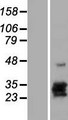 CGB8 Protein - Western validation with an anti-DDK antibody * L: Control HEK293 lysate R: Over-expression lysate