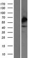CHST4 / GlcNAc6ST2 Protein - Western validation with an anti-DDK antibody * L: Control HEK293 lysate R: Over-expression lysate