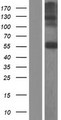 CHST7 Protein - Western validation with an anti-DDK antibody * L: Control HEK293 lysate R: Over-expression lysate