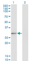 CLIC2 Antibody - Western Blot analysis of CLIC2 expression in transfected 293T cell line by CLIC2 monoclonal antibody (M01), clone 2C1.Lane 1: CLIC2 transfected lysate (Predicted MW: 28.4 KDa).Lane 2: Non-transfected lysate.