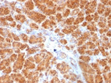 IHC testing of FFPE human pancreas with Clathrin Light Chain antibody (clone SPM174). Required HIER: boil tissue sections in 10mM Citrate buffer, pH 6.0, for 10-20 min.