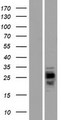 CMTM1 Protein - Western validation with an anti-DDK antibody * L: Control HEK293 lysate R: Over-expression lysate