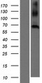 CNBD2 / C20orf152 Protein - Western validation with an anti-DDK antibody * L: Control HEK293 lysate R: Over-expression lysate