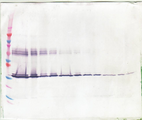 Anti-Human M-CSF Western Blot Unreduced