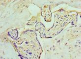 Immunohistochemistry of paraffin-embedded human placenta using antibody at 1:100 dilution.
