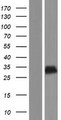 CT55 / CXorf48 Protein - Western validation with an anti-DDK antibody * L: Control HEK293 lysate R: Over-expression lysate