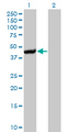 CTH / Cystathionase Antibody - Western blot of CTH expression in transfected 293T cell line by CTH monoclonal antibody (M01), clone 4E1-1B7.