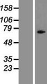 CYLC1 Protein - Western validation with an anti-DDK antibody * L: Control HEK293 lysate R: Over-expression lysate