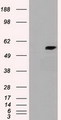 CYP7B1 Antibody - HEK293T cells were transfected with the pCMV6-ENTRY control (Left lane) or pCMV6-ENTRY cyp7b1 (Right lane) cDNA for 48 hrs and lysed. Equivalent amounts of cell lysates (5 ug per lane) were separated by SDS-PAGE and immunoblotted with anti-cyp7b1.
