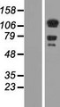 DAAM1 Protein - Western validation with an anti-DDK antibody * L: Control HEK293 lysate R: Over-expression lysate