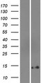 DEFB131 Protein - Western validation with an anti-DDK antibody * L: Control HEK293 lysate R: Over-expression lysate