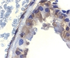 Immunohistochemistry of ICAD in murine lung tissue with ICAD antibody at 2 µg/ml.