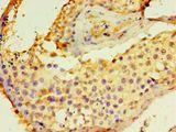Immunohistochemistry of paraffin-embedded human testis using antibody at 1:100 dilution.