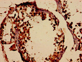 Immunohistochemistry analysis of human testis tissue at a dilution of 1:100