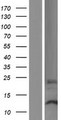 DPH3B Protein - Western validation with an anti-DDK antibody * L: Control HEK293 lysate R: Over-expression lysate