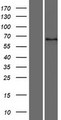 DYTN Protein - Western validation with an anti-DDK antibody * L: Control HEK293 lysate R: Over-expression lysate