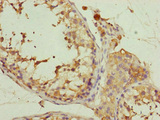 EIF3M / PCID1 Antibody - Immunohistochemistry of paraffin-embedded human testis tissue at dilution of 1:100