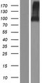 ELFN2 Protein - Western validation with an anti-DDK antibody * L: Control HEK293 lysate R: Over-expression lysate