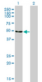 ENO2 / NSE Antibody - Western Blot analysis of ENO2 expression in transfected 293T cell line by ENO2 monoclonal antibody (M01), clone 1A3.Lane 1: ENO2 transfected lysate(47.3 KDa).Lane 2: Non-transfected lysate.