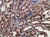 IHC of paraffin-embedded Human Kidney tissue using anti-LMAN1 mouse monoclonal antibody. (Heat-induced epitope retrieval by 10mM citric buffer, pH6.0, 100C for 10min).