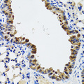 Esterase D / ESD Antibody - Immunohistochemistry of paraffin-embedded mouse lung tissue.