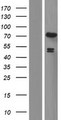 EXD2 Protein - Western validation with an anti-DDK antibody * L: Control HEK293 lysate R: Over-expression lysate