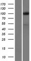 EXOC1 / SEC3 Protein - Western validation with an anti-DDK antibody * L: Control HEK293 lysate R: Over-expression lysate