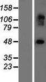 EXOC3L2 Protein - Western validation with an anti-DDK antibody * L: Control HEK293 lysate R: Over-expression lysate