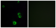 F2RL2 / PAR3 Antibody - Immunofluorescence analysis of MCF7 cells, using F2RL2 Antibody. The picture on the right is blocked with the synthesized peptide.