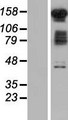FAM120B Protein - Western validation with an anti-DDK antibody * L: Control HEK293 lysate R: Over-expression lysate