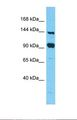 Western blot of Human 293T. FAM193A antibody dilution 1.0 ug/ml.  This image was taken for the unconjugated form of this product. Other forms have not been tested.
