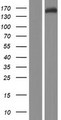 FAM208A Protein - Western validation with an anti-DDK antibody * L: Control HEK293 lysate R: Over-expression lysate