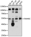 FAM46C Antibody - Western blot analysis of extracts of various cell lines, using FAM46C antibody at 1:1000 dilution. The secondary antibody used was an HRP Goat Anti-Rabbit IgG (H+L) at 1:10000 dilution. Lysates were loaded 25ug per lane and 3% nonfat dry milk in TBST was used for blocking. An ECL Kit was used for detection and the exposure time was 30s.