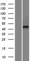 FAM47E Protein - Western validation with an anti-DDK antibody * L: Control HEK293 lysate R: Over-expression lysate