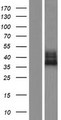 FAM70A Protein - Western validation with an anti-DDK antibody * L: Control HEK293 lysate R: Over-expression lysate