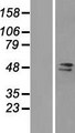 FAM98A Protein - Western validation with an anti-DDK antibody * L: Control HEK293 lysate R: Over-expression lysate
